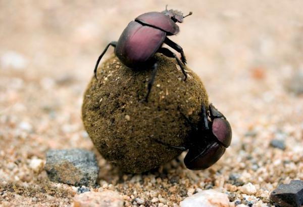 larva dello scarabeo stercorario