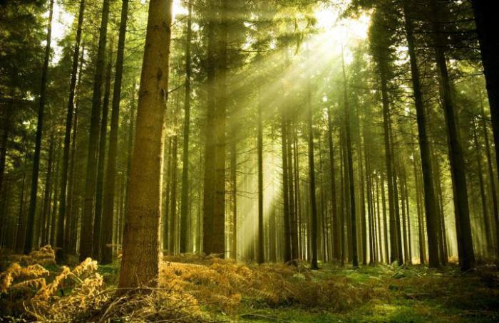 crnogorične šume