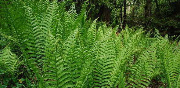 crnogorične biljke
