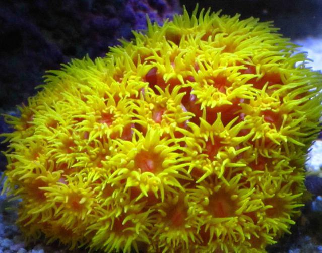 Rappresentanti di polipi corallini