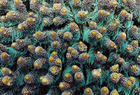Riproduzione di polipi corallini