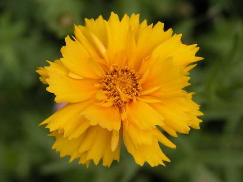 coreopsis perenne