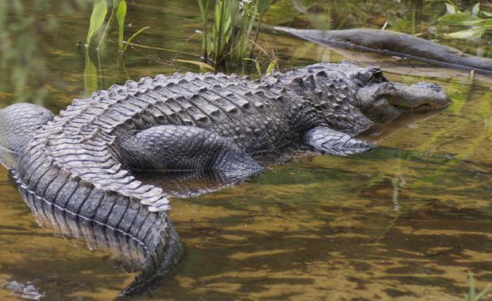 крокодил сузе значења идиома