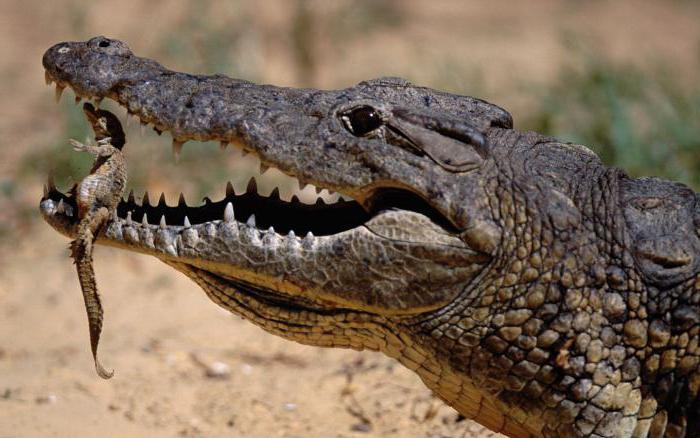 сипање крокодилских суза што значи идиом