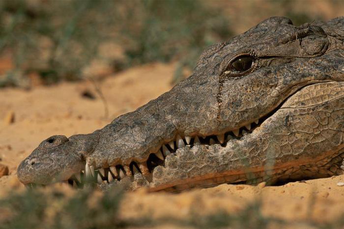 крокодил кида значење и порекло идиома