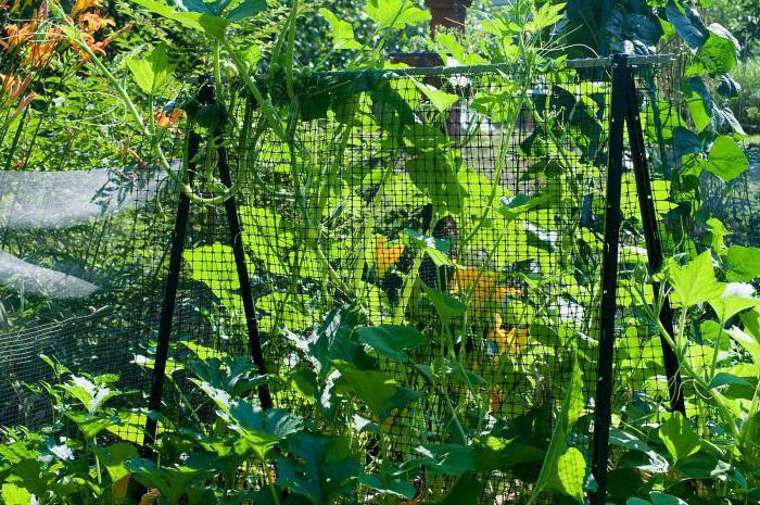 coltivazione di cetriolo fenice