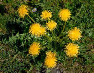 Култивирани тревни растения