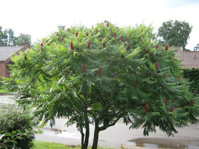 sumah stablo