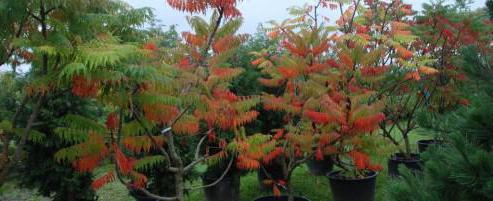 sumah stablo skrb