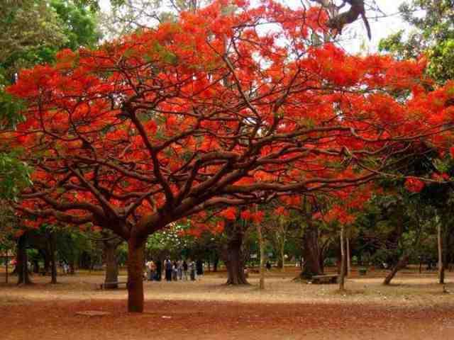 albero del delonix reale