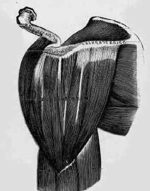 deltoidni mišić