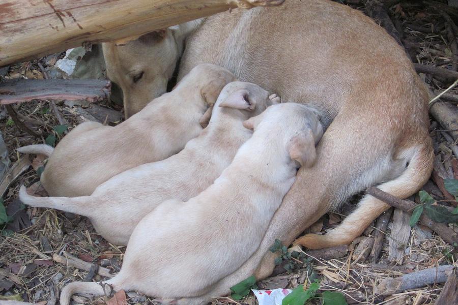 demodecosi nel trattamento dei cani