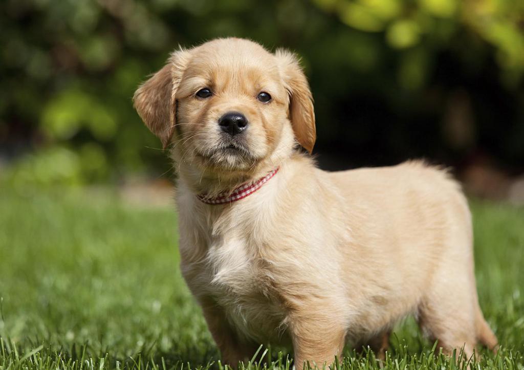 cause di demodicosi nei cani