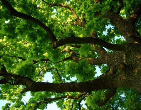 descrizione della quercia