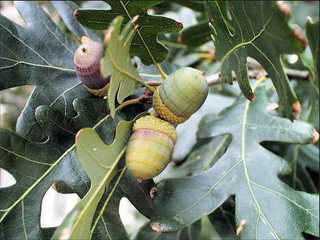 ghianda di frutti di quercia