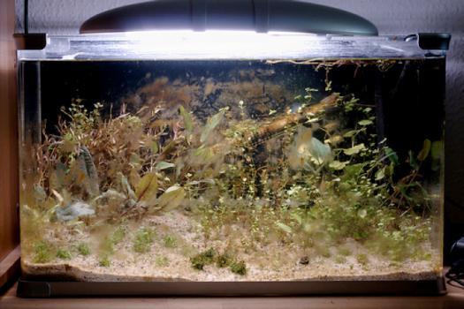 диатоме у акваријуму