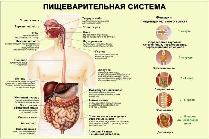 храносмилателни жлези