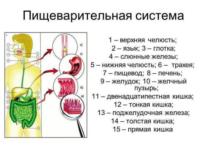 храносмилателната система на жлезите