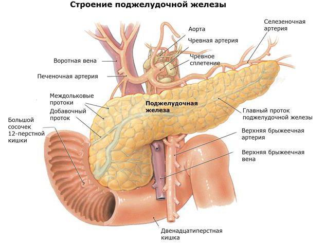 органите на храносмилателната жлеза