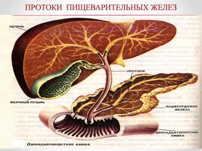 функция на храносмилателната жлеза
