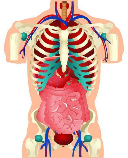 narządy trawienne
