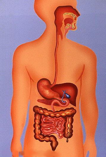 struttura degli organi digestivi