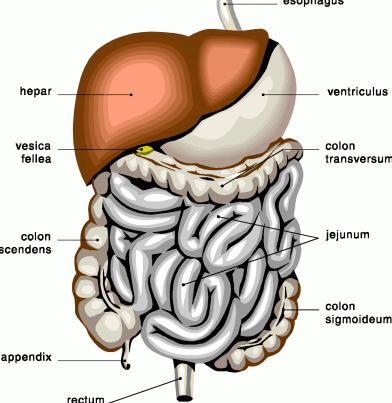 processo digestivo
