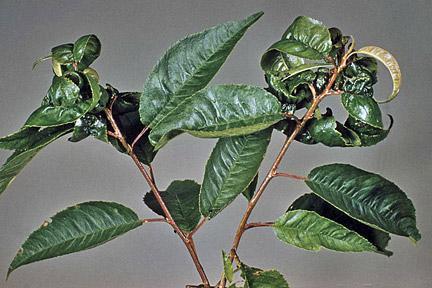 descrizione della malattia di ciliegia