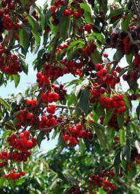 malattia di ciliegia