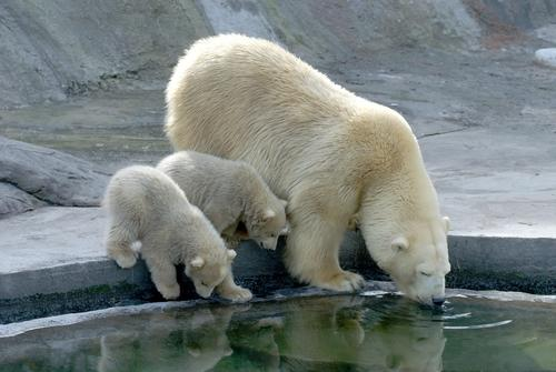 carne di orso bianco