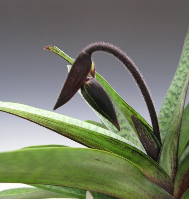 crna orhideja fotografija