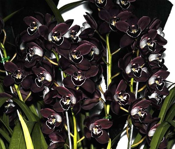 crni cvijet orhideje