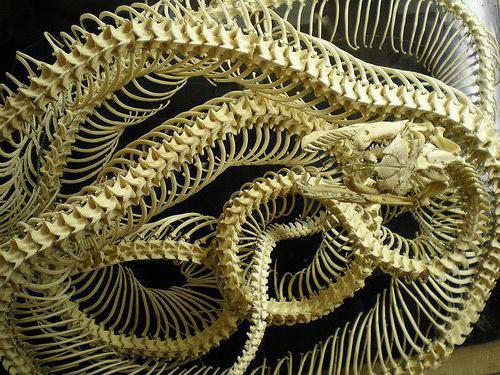 okostje kače