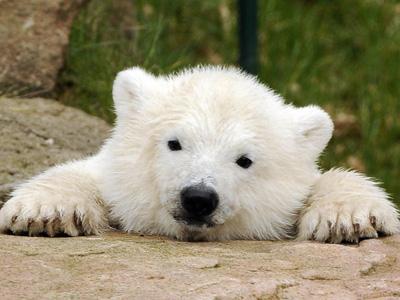 san polarni medvjed