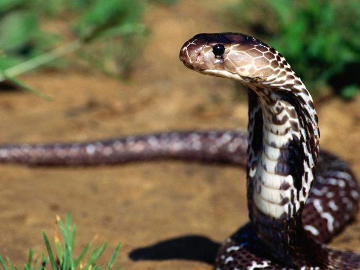 se tu avessi un serpente