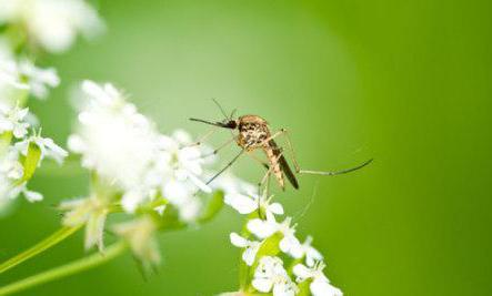 dlaczego komary marzą dużo