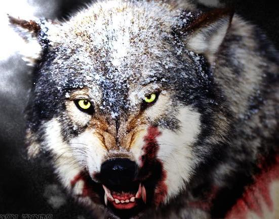 vukovi u snu s krvavom trskom