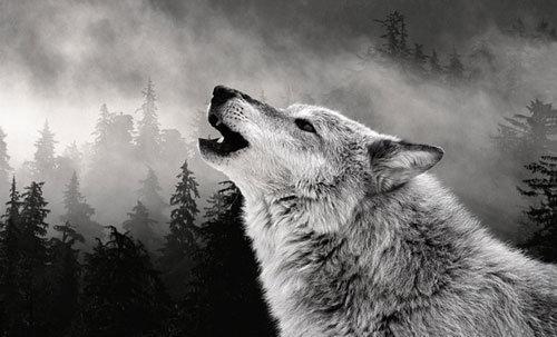 vukovi u snu zavijaju na mjesec
