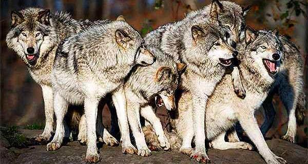 čopora vukova