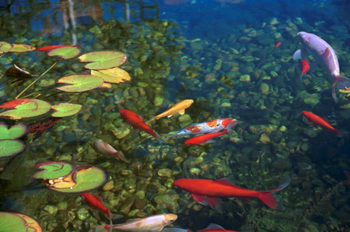 stagno: habitat naturale per i pesci