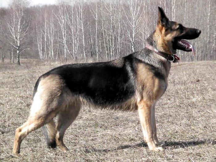 dugodlaki pastirski psi istočne Europe