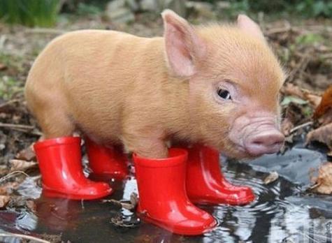 dell'anno secondo il calendario orientale: maiale