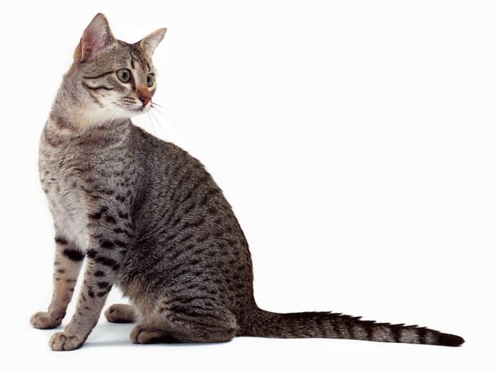 Gatti egiziani