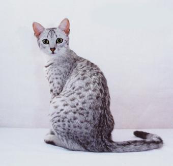 Mau egiziano della razza del gatto