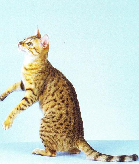 Razza di gatto egiziano