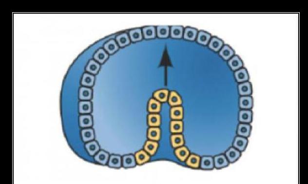 razdoblju embrionalnog razvoja