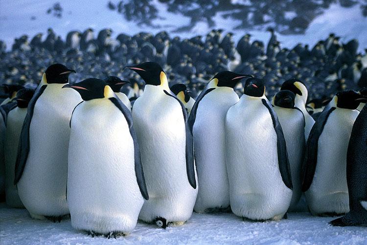 insediamento di pinguini