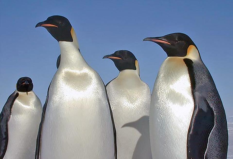 Habitat pinguino imperiale