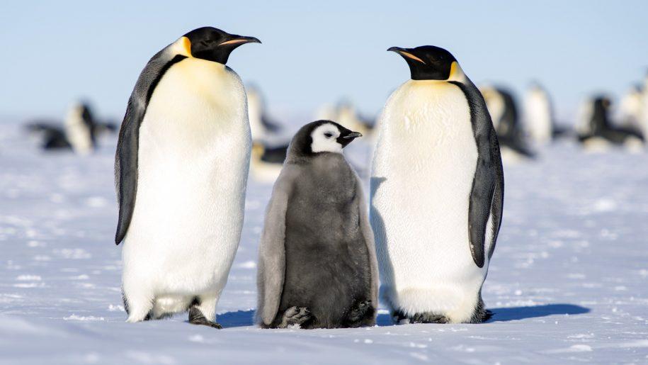 Famiglia pinguino