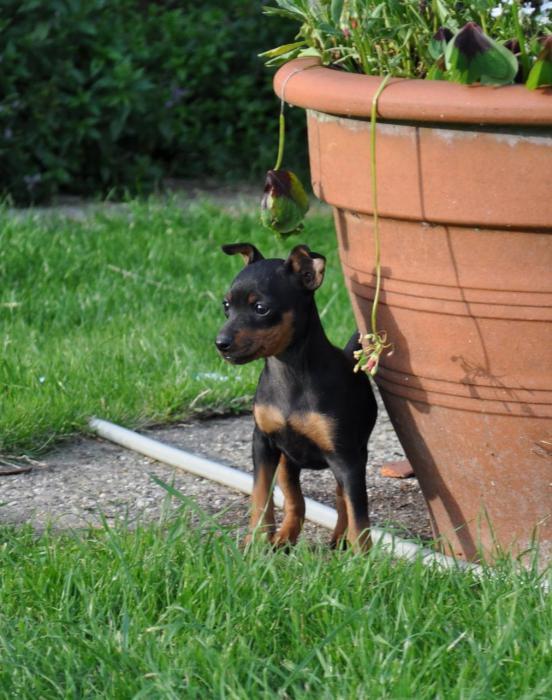 prezzo toy terrier inglese